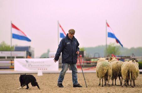 Bordercollie-schapendrijven