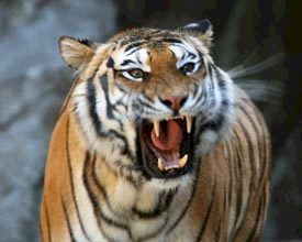 'Train een tijger' als bedrijfsuitje